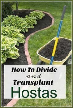How to Successfully Divide & Transplant Hostas in Your Yard