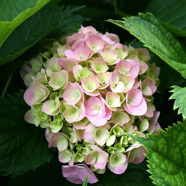 How to Prune Mop Head and Lace Cap Hydrangeas.