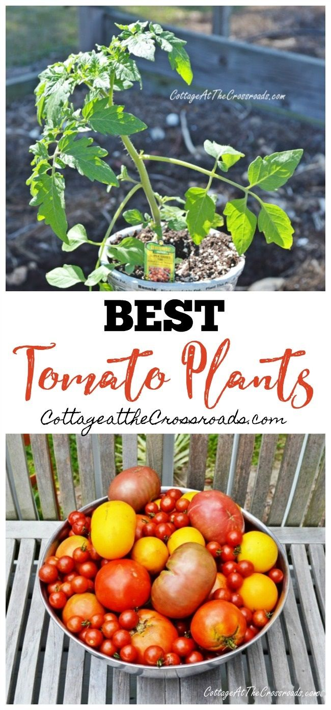 Choosing the Best Tomato Plants - Cottage at the Crossroads