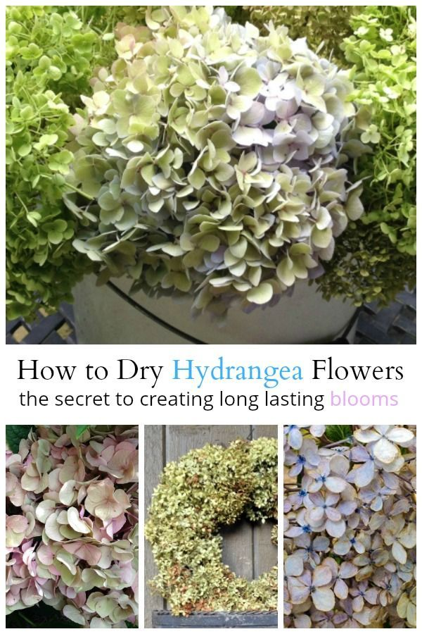 Learn the secret for drying hydrangeas that will last for a long time. They will...