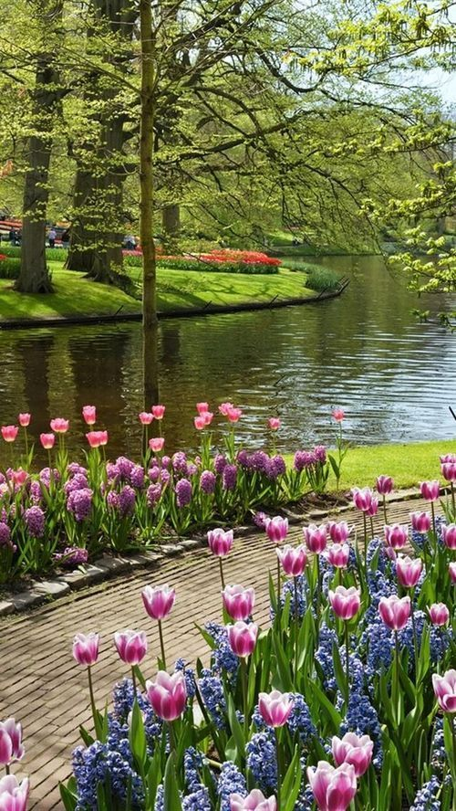 Gorgeous tulips along a lakeside path should be planted now for bloom in spring