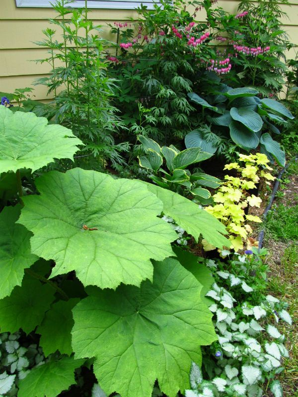 Shade lovers, A variety of plants with interesting leaves, including Astilboides...