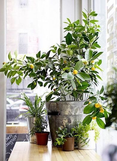 8 Types of Indoor Fruit Trees You Can Grow in Your Living Room — Food52