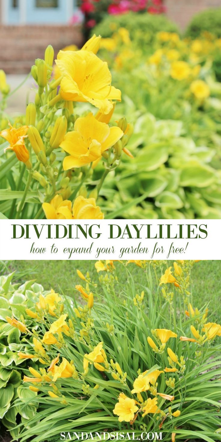 Dividing Daylilies - How to Expand Your Garden for Free