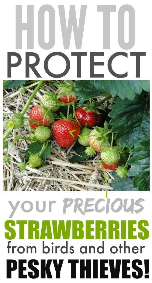 Tired of birds and other pests devouring your strawberries before you get to pic...