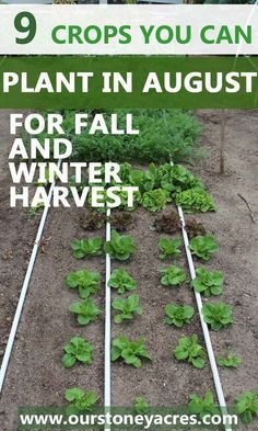 9 crops you can plant in August for fall and winter harvest - Our Stoney Acres
