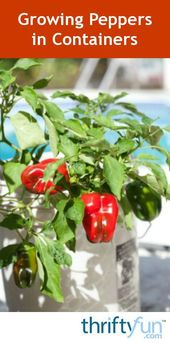 Growing Peppers in Containers