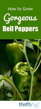 How to Grow Gorgeous Bell Peppers