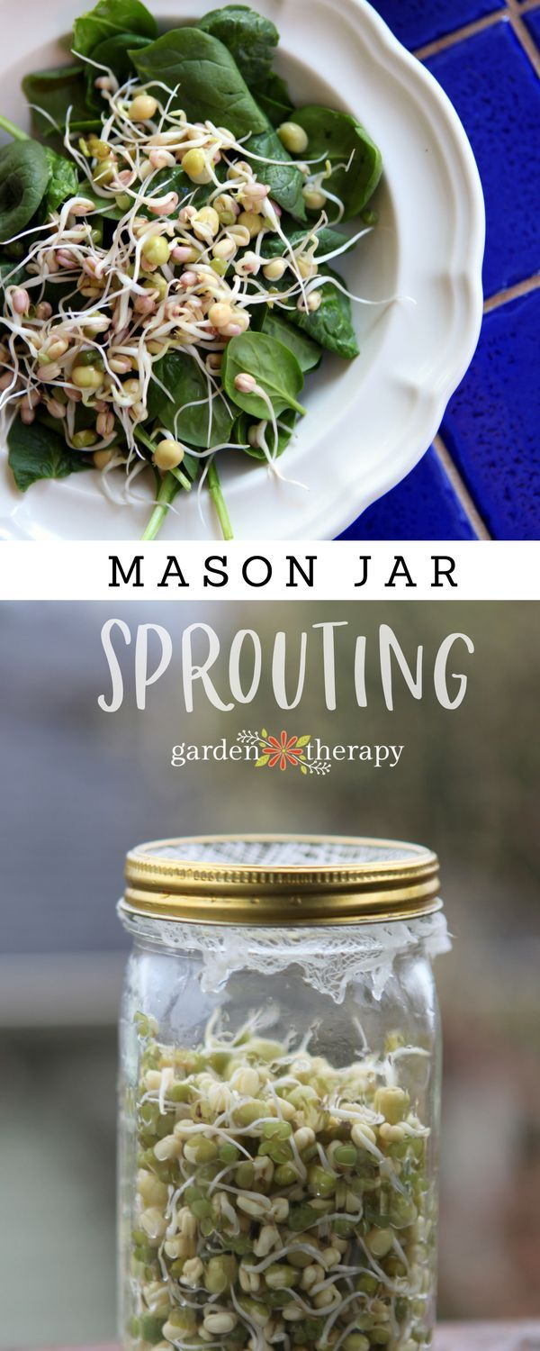Mason Jar Sprouts: Mung Beans and Green Peas - Garden Therapy
